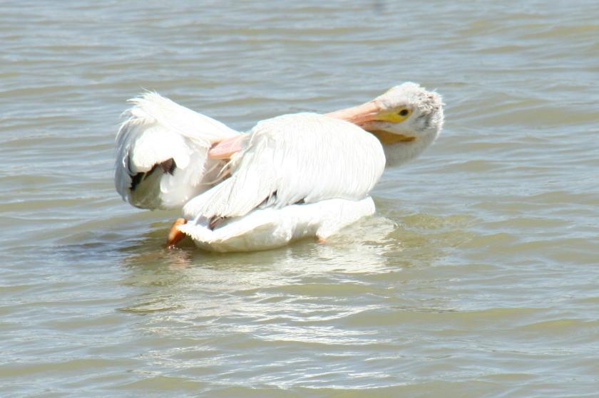 primping_pelican_15851361031