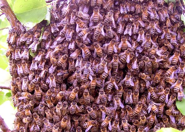 bee-swarnpng-3b31d2ed80ade7b7